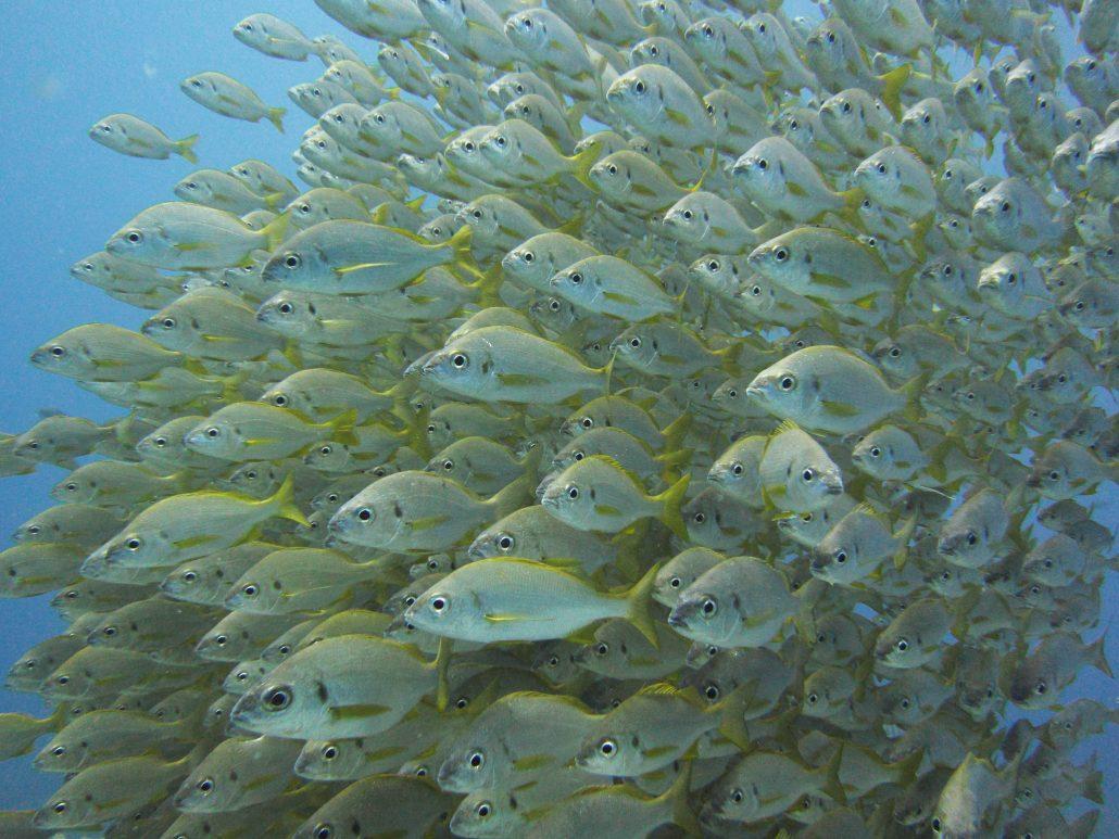 roncadores diving tenerife