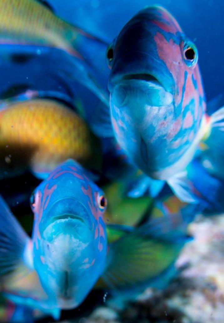 Ornate Wrasse diving in tenerife