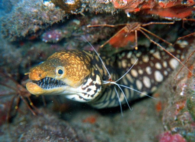 Tiger moray diving tenerife