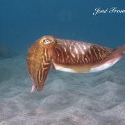 cuttle fish diving tenerife