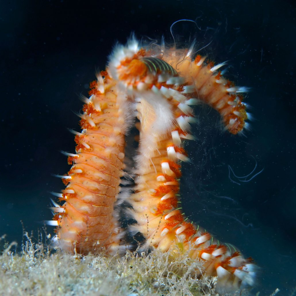 fire worms diving in tenerife