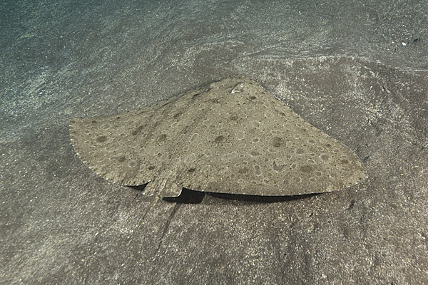 butterfly ray tenerife