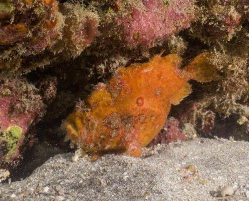 Frogfish in Tenerife