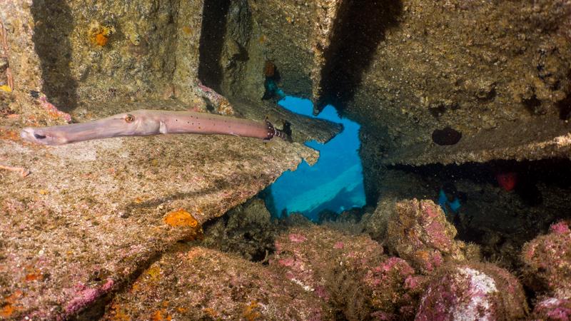 Atlantic Trumpetfish Tenerife